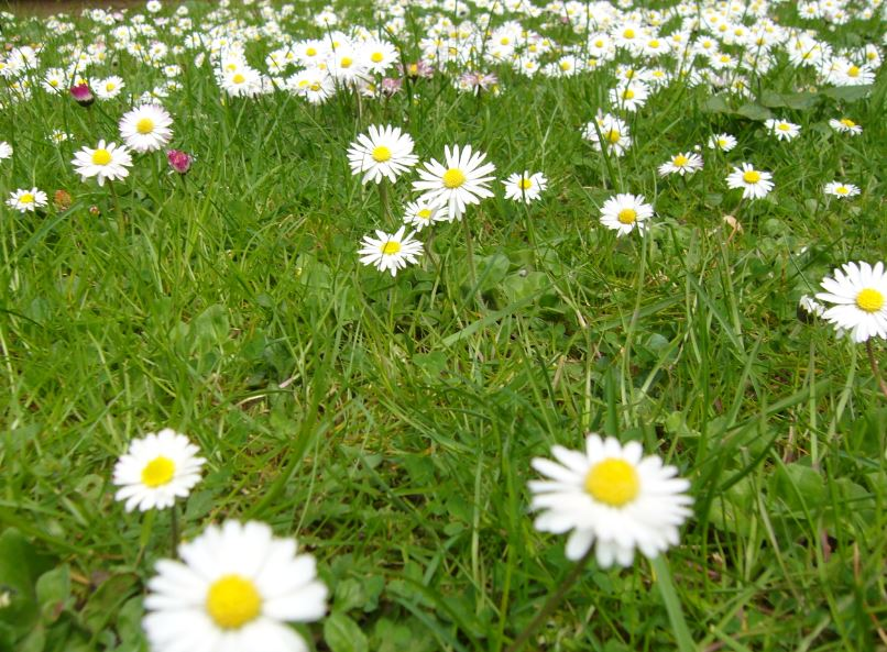 Daisies low-res